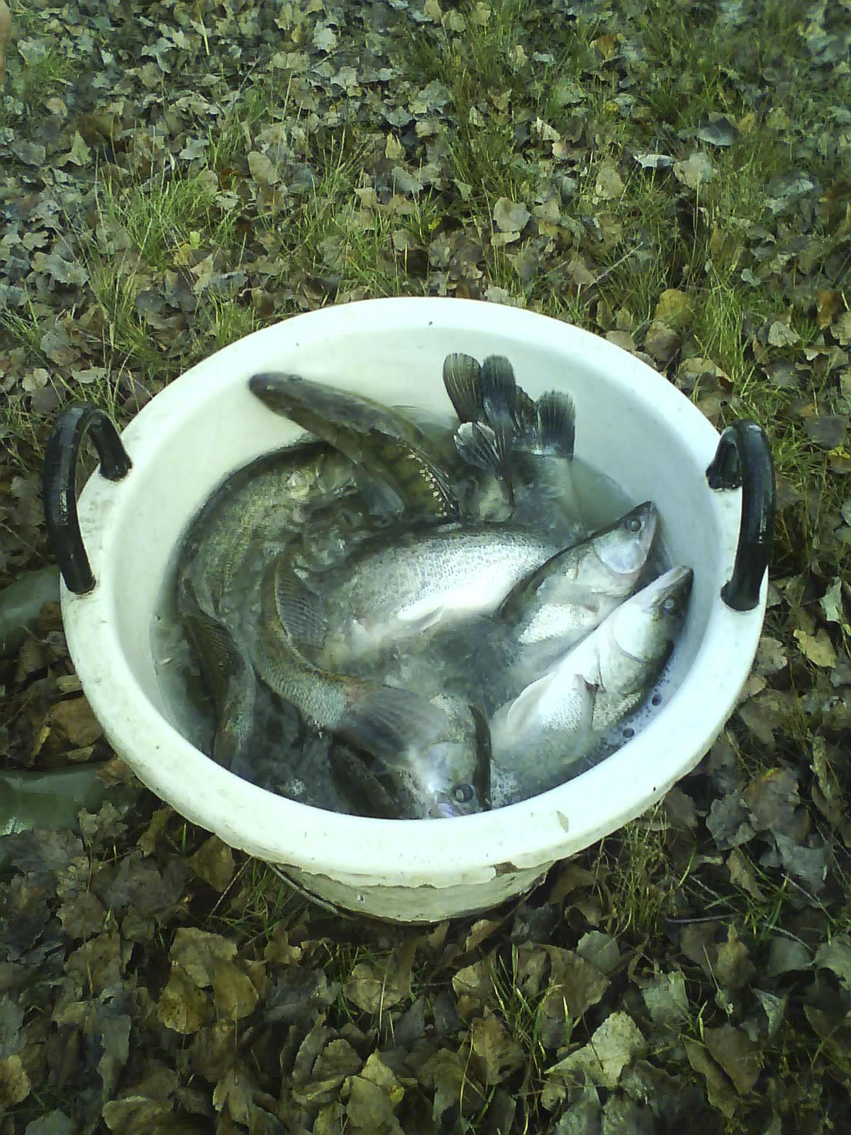 Zanderbesatz Teich Lobau