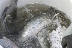 Besatz von Großzander am Teich
