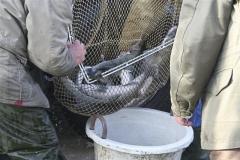 Zanderbesatz 2 am Teich