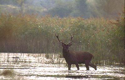 Hirsch im Wasser