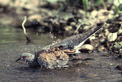 Turteltaube beim Wasserbad
