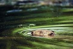 Schwimmender Biber